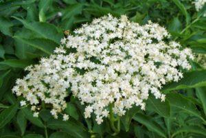 цветков бузины